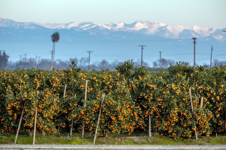 Mandarin Oranges, Rising Stars of the Fruit Bowl
