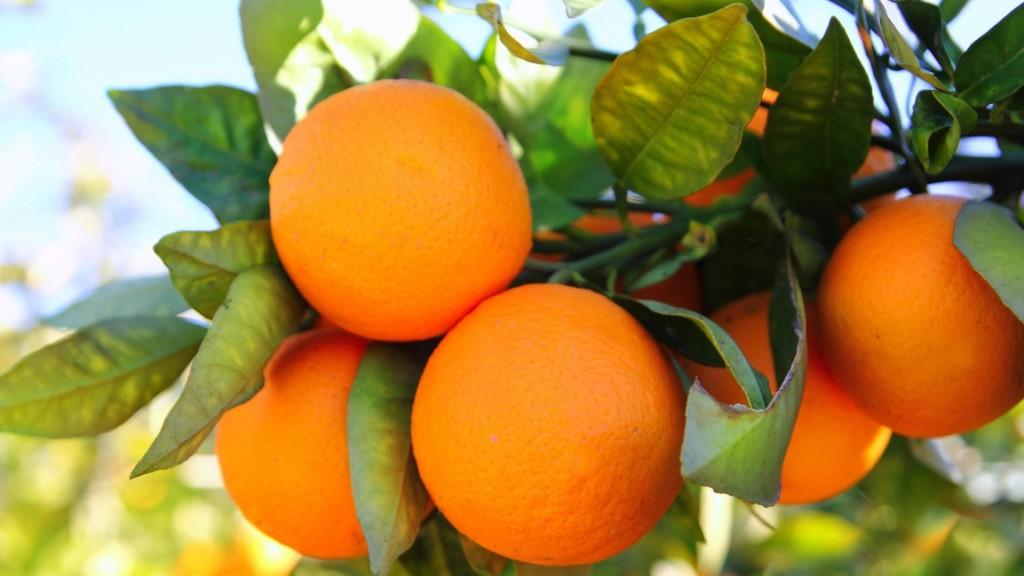 Facts About Florida Oranges & Citrus