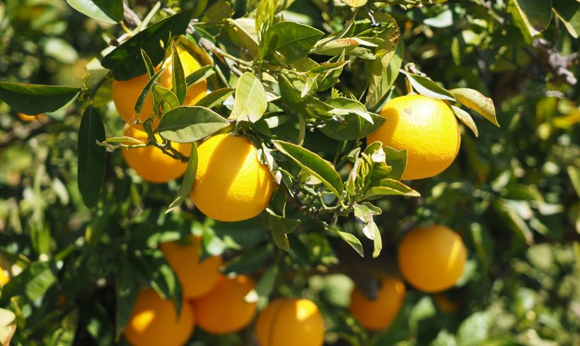Citrus Crop Forecast    (Citrus Industry)